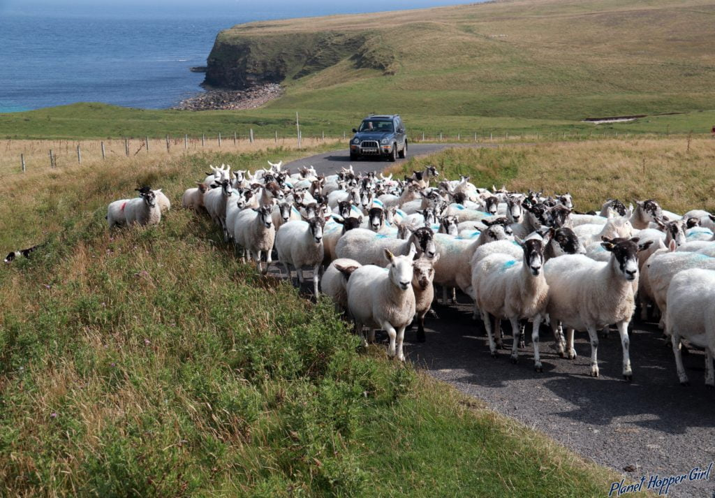 Sheep Traffic being guided by sheepdog in John O Groats, Scotland