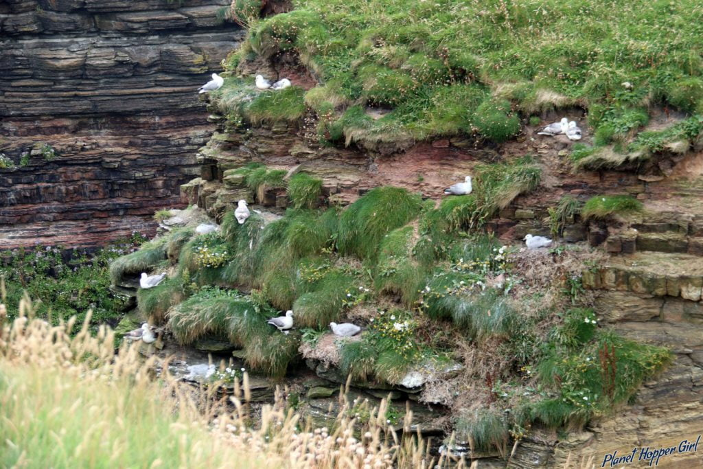 Kittiewake spotted in Duncansby Stacks,John O Groats, Scotland