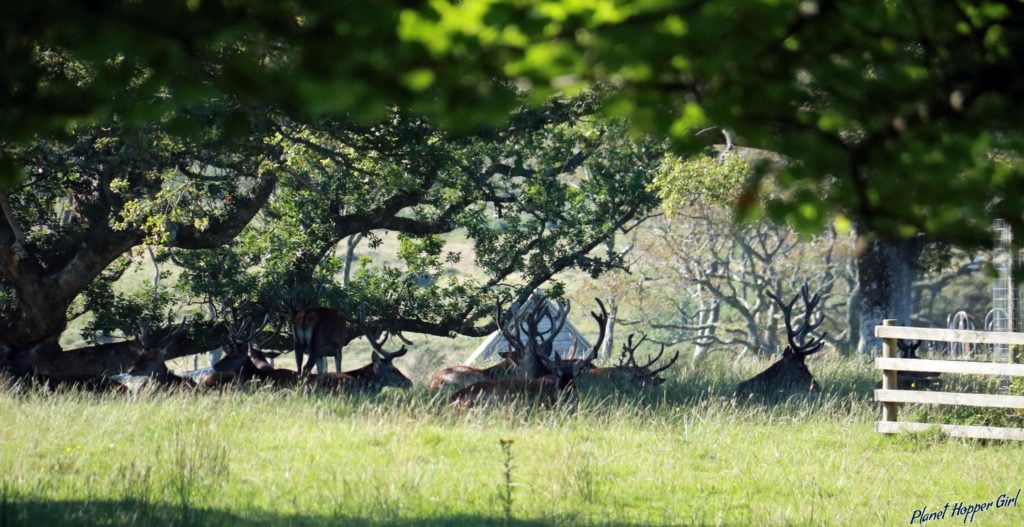 Stag in Applecross Gardens, NC500, Scotland