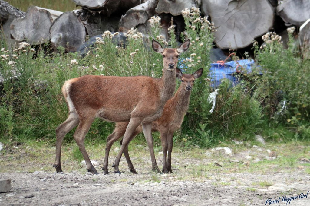 Deer spotted in NC500 route and Glen Etive, Glencoe, Scotland