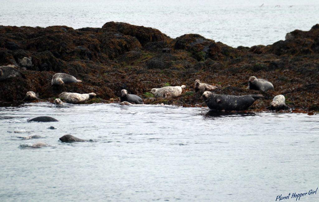 Seals swimming in Treshnish Islands, Isle of Mull, Scotland