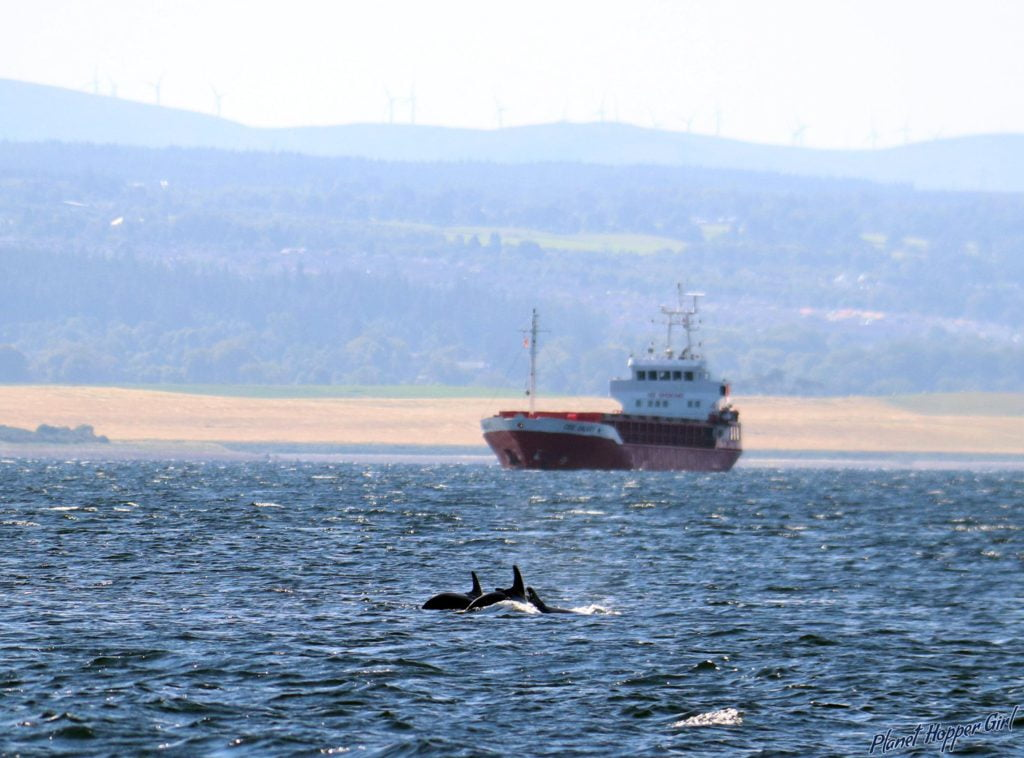 Dolphins, Chanonry Point, Inverness, Scotland