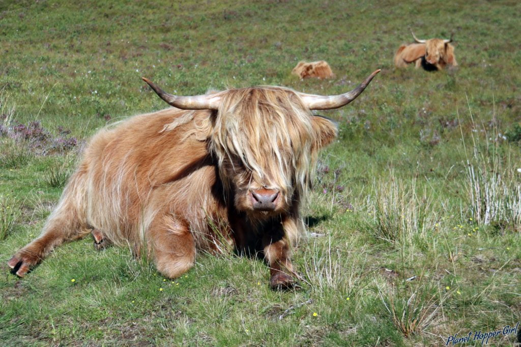 Scottish Highland Cow spotted in Ullapool, Scotland