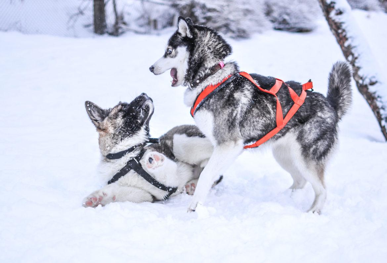 Dog Sledding in Tromso Norway