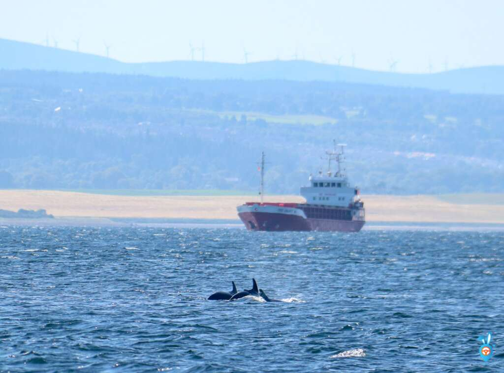 Chanonry Point Dolphins Swimming Ship