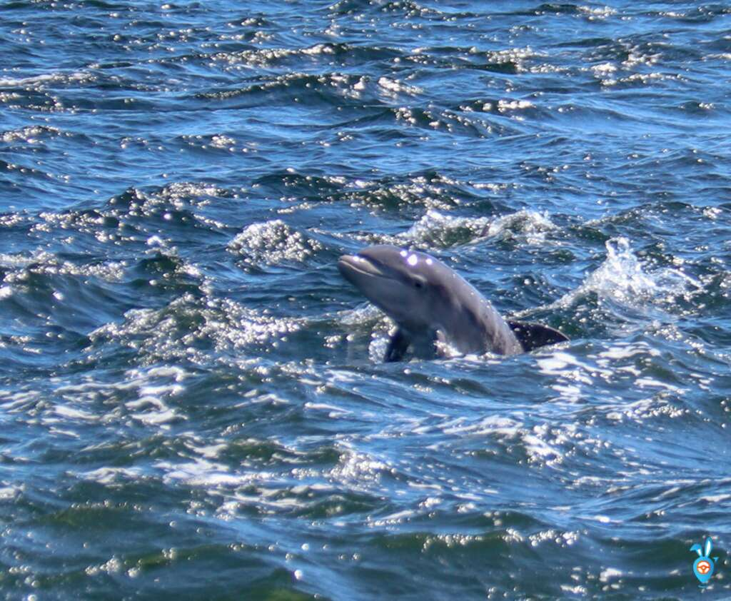 Dolphins Chanonry Point