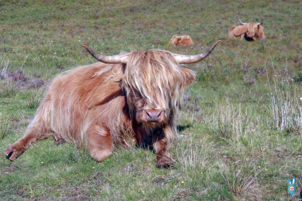 Highland Cow - Ullapool