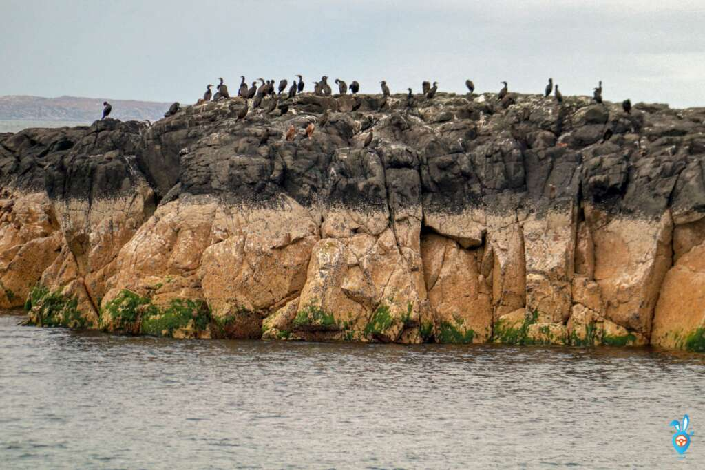 Scottish Wildlife - Shags