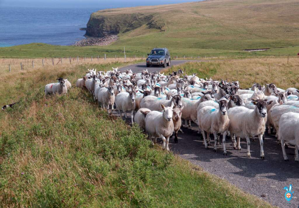 Sheep - John O Groats