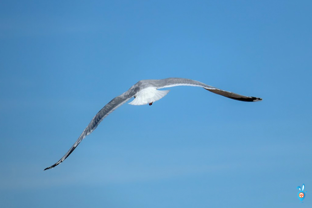 Scottish Wildlife - Herring Gull