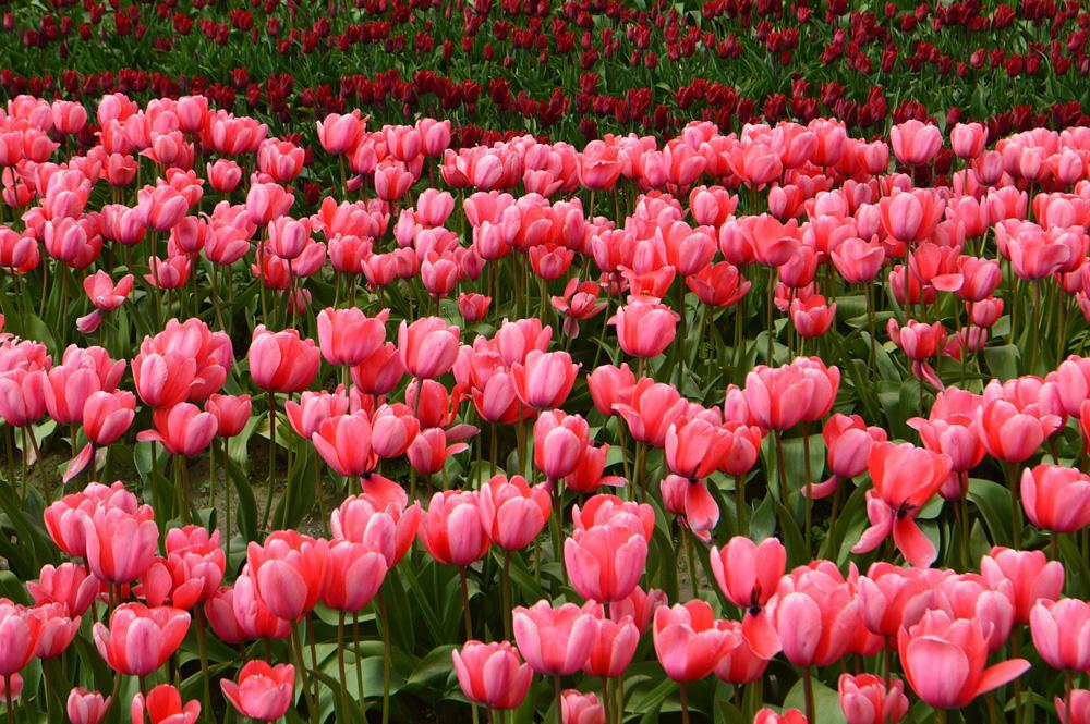 Skagit Valley Tulips, Washington, USA