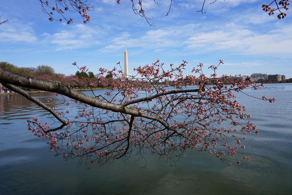 washington cherry blossom spring