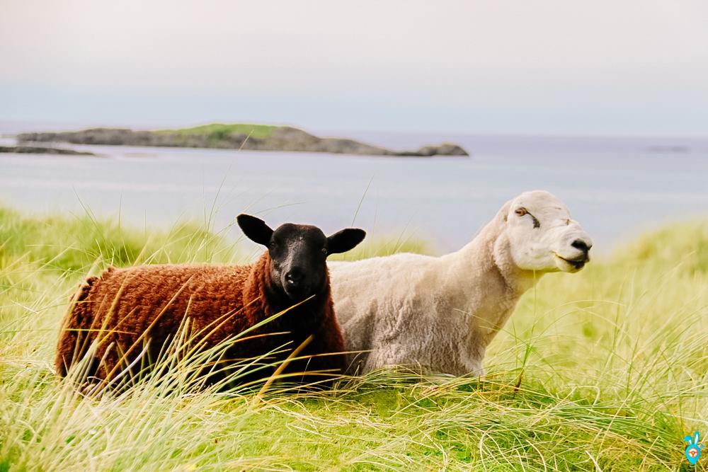 Sanna Bay Sheep